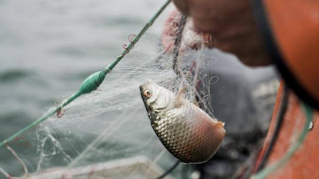 Die Unzufriedenheit bei den Bodenseefischern ist gross.