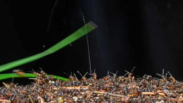 Gut 15'000 Ameisenhaufen gibt es im Nationalpark.