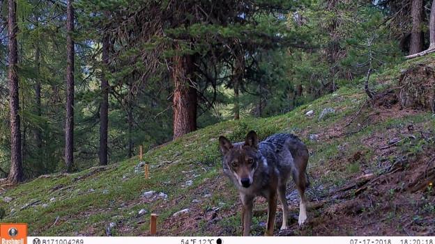 Der Nationalpark will mehr über die Wölfe erfahren.
