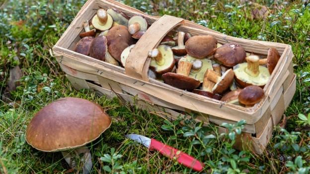 Bei einer Pilzvergiftung versagen häufig Leber oder Nieren.