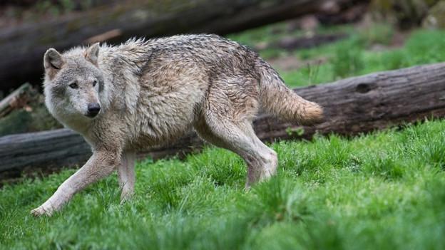Weniger Schutz für den Wolf