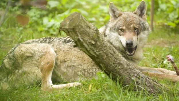 Abschuss von Wölfen im Beverin-Rudel