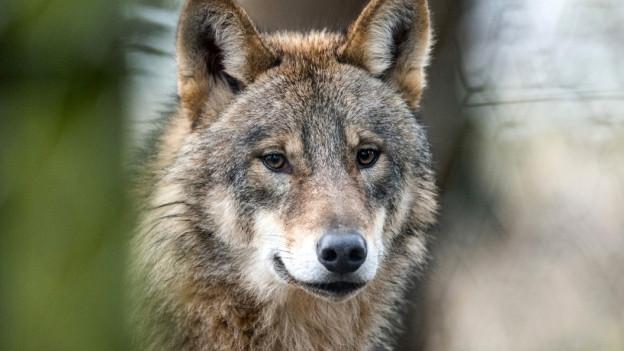 Wölfe zum Abschuss freigegeben
