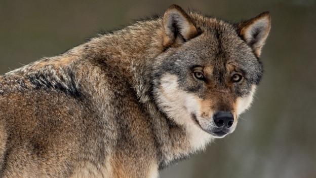 Wolf reisst Schafe in Appenzell