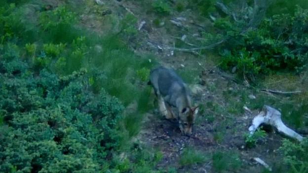 Jungwolf im Gelände