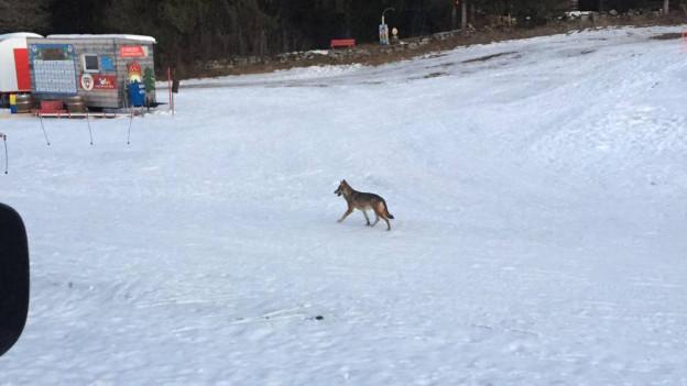 Wolf auf Skipiste