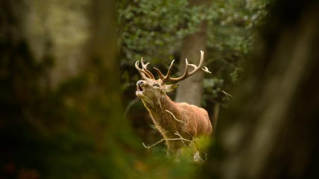 Jäger wollen Bündner Schutzgebiete lockern