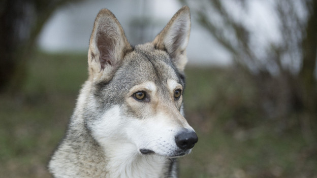 Fotos vom Kopf eines zugelassenen Wolfshybriden