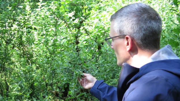 Niedrige Birke: Die seltenste Pflanze der Schweiz bekommt Zuwachs
