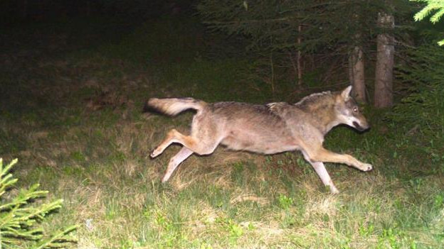 Wolf rennt über die Wiese