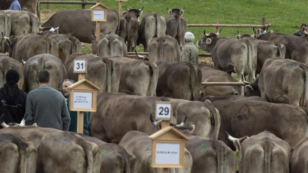 Kühe an der Viehschau Schwellbrunn