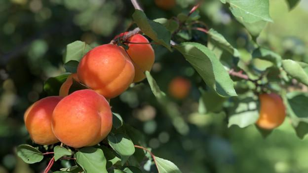 Thurgauer Landwirtschaft versucht sich im Aprikosenanbau