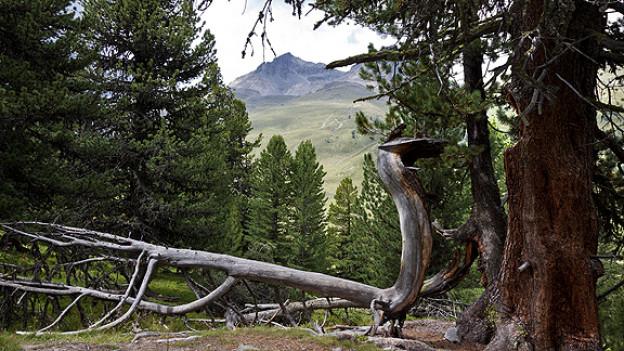 Umgestürzter Baum in Wald.