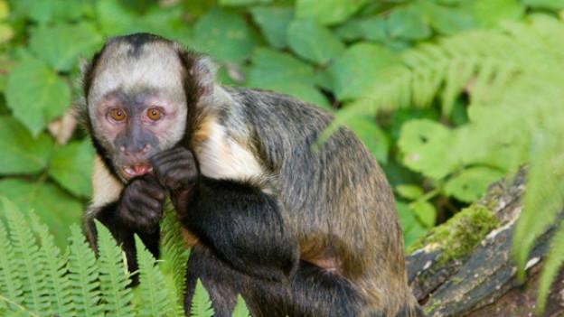 Ausgebüchst und im Zürcher Wald unterwegs: ein Goldbrustkapuzineraffe aus dem Zoo Zürich.