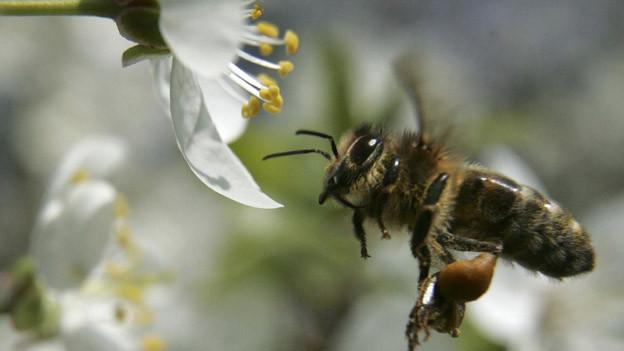 Die Bienen hatten noch wenig Gelegenheit um die Blüten zu bestäuben.