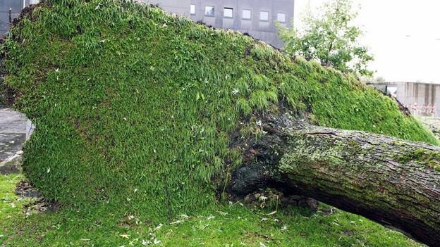 Ein umstürzender Baum forderte in Rüti ZH ein Todesopfer.