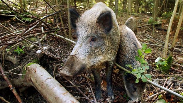 Sieht süss aus, kann aber grosse Schäden verursachen: Das Wildschwein.