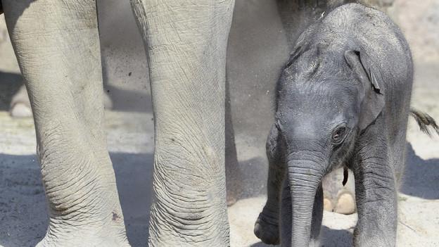 Neu geborener Elefant im Zürcher Zoo
