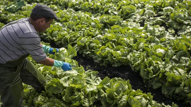 Helfer erntet Salat auf einem Feld.