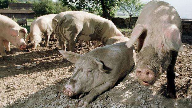Schweine im Sonnenlicht im Freiland
