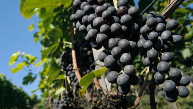 Trotz Wetterpech erwartern die Weinbauern für 2014 ein guter Tropfen.
