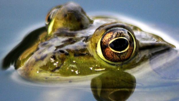Ein Frosch guckt halb aus dem Wasser.