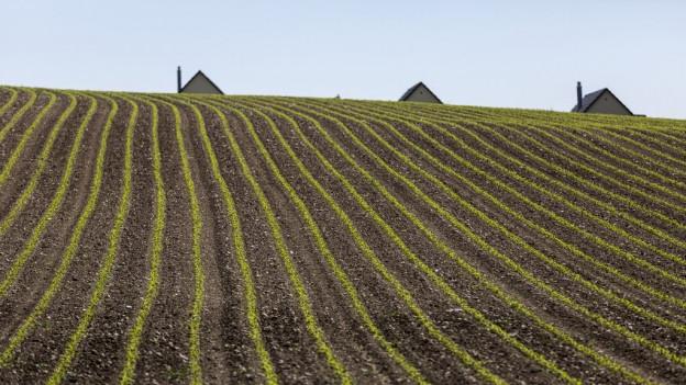 Blick über Reihen von Jungpflanzen eines Maisfeldes.