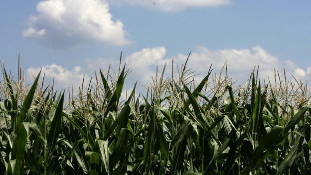 Der Mais leidet unter der Trockenheit.