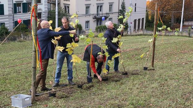 Mehrere Männer pflanzen Rebstöcke in einer Wiese.