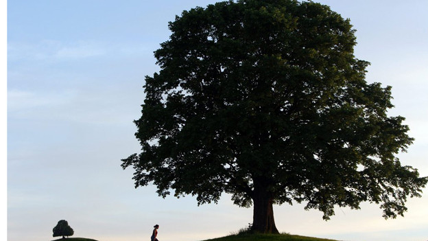 Lindenbäume