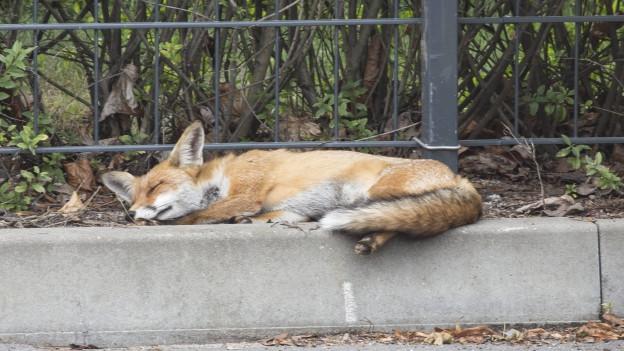 Wenn ein Fuchs schwer verletzt sein sollte, müsste er von seinem Leiden erlöst werden.