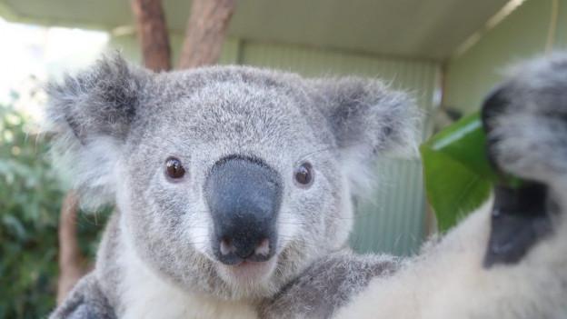 Sollen ins neue Australienhaus einziehen: Koalas.