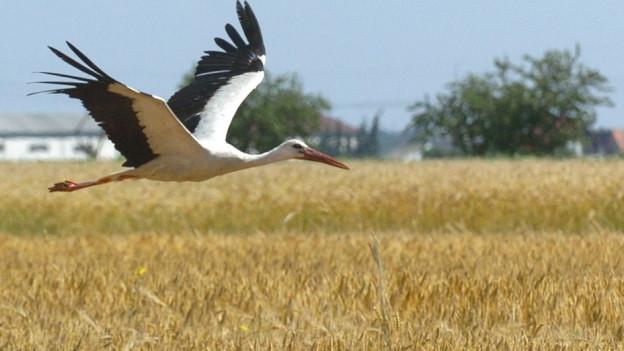 Ein Storch fliegt über ein Feld mit Wintergerste
