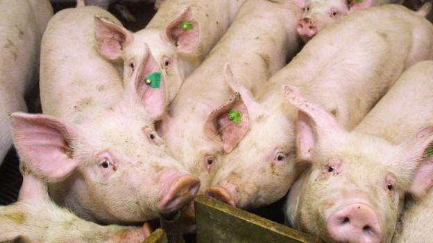 zusammengepferchte Schweine