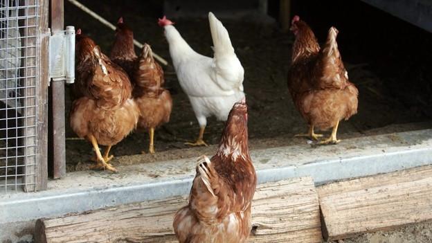 Hühner auf dem Weg in einen Stall