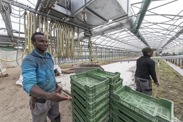 Asylbewerber arbeiten in einem Gewächshaus