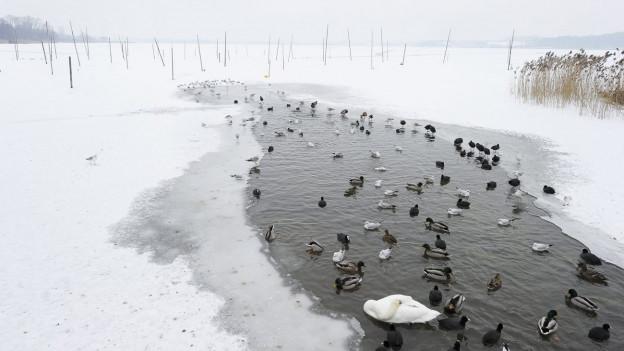 Zugefrorener Pfäffikersee mit Wasservögeln in einem Eisloch