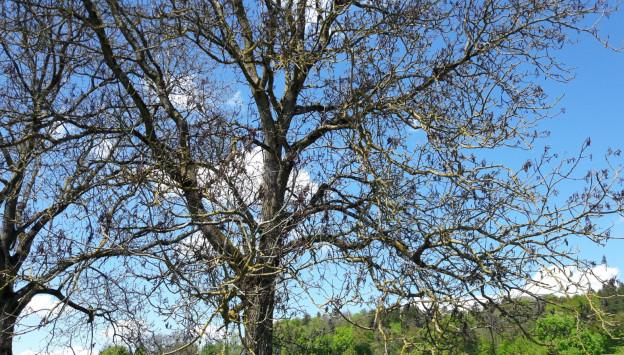 Keine Blätter nach dem Frost: Nussbaum in Regensdorf.
