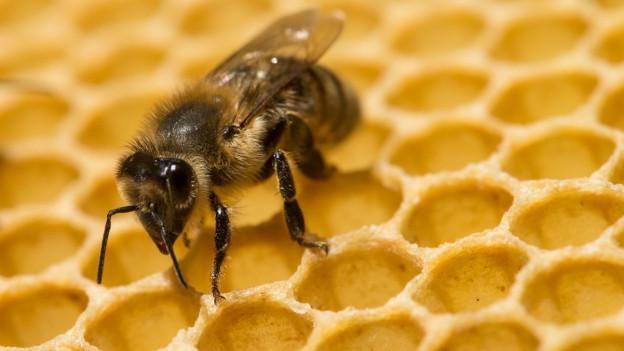 Die Bienen in Schaffhausen scheinen wieder fit und munter.