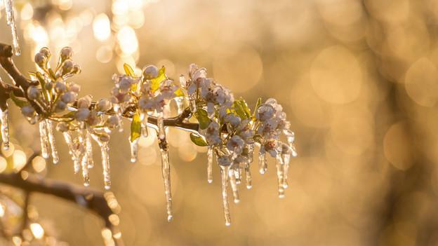 Ein Obstbaum mit gefrorenen Blüten.