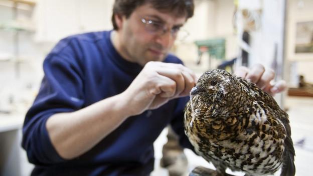 Ein Präparator arbeitet an einem Vogel.