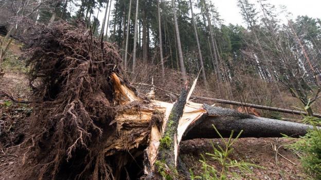 Auch in der Region Zürich und Schaffhausen fielen viele Bäume dem Sturm zum Opfer.