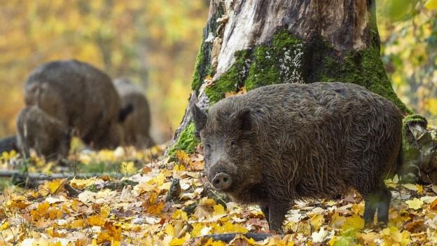 Wildschweine vermehren sich rasch und richten grosse Schäden an.