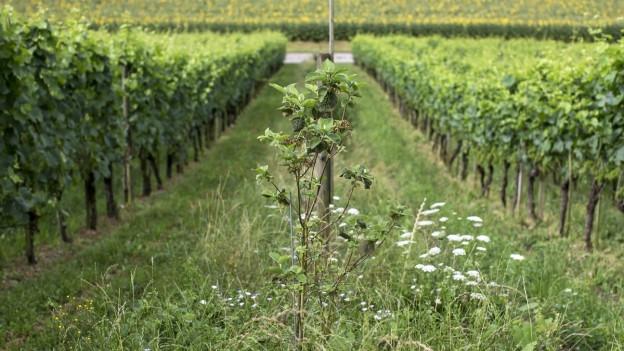 Eine grosse Rebbauanlage im Kanton Thurgau