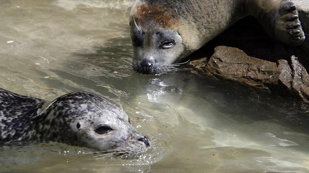 Zwei Seehunde im Zoo Zürich