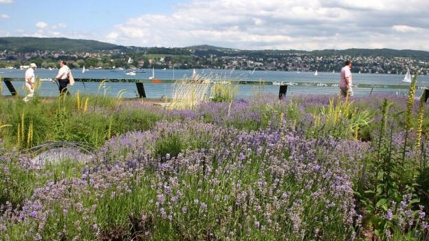 Lavendelwiese beim See in Zürich-Wollishofen.