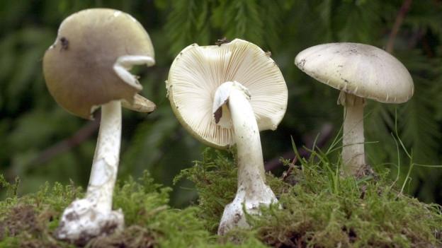 Pilze - können auch giftig sein!