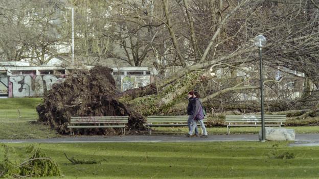 Zwei Spaziergänger laufen vor einem entwurzelten Baum, der auf einer Wiese liegt, vorbei.