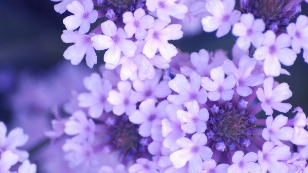 Fluras en colur lila.