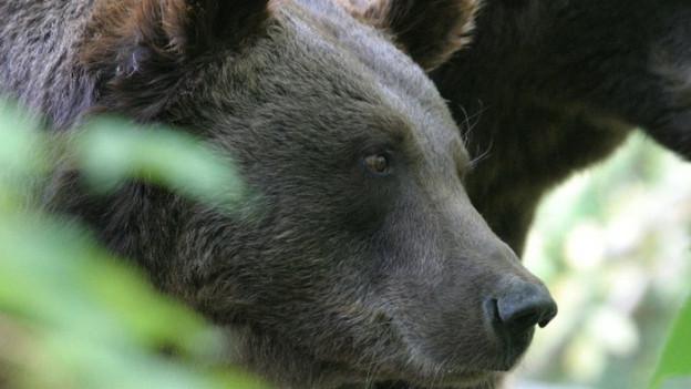 Per l'emprima giada dapi 100 onns han ins puspè vesì in urs en Svizra il 2005.
